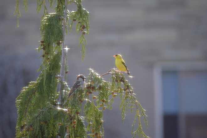 Goldfinch and house sparrow in Nootka! St. Catharines, Ontario Canada