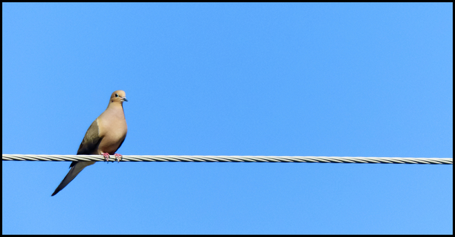 Morning dove outside my window. Elliot Lake, Ontario Canada