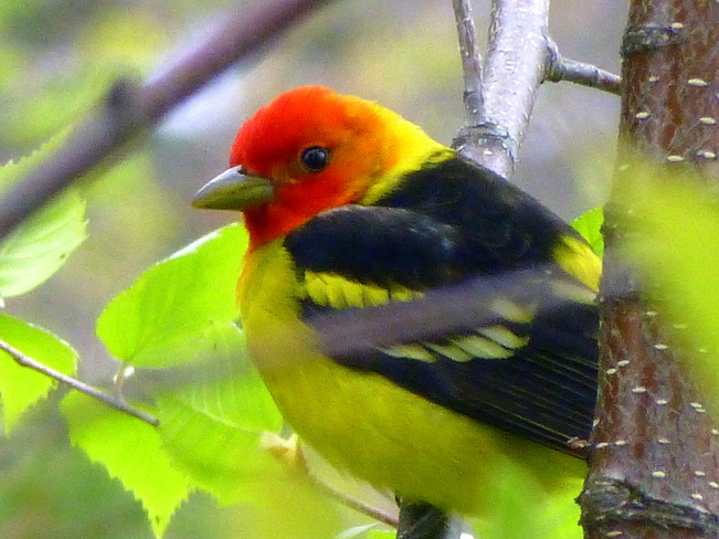 Western Tanager Scotch Creek, British Columbia Canada