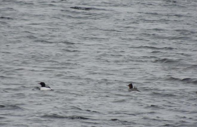 Loons in Loon Bay! Lewisporte, Newfoundland and Labrador Canada