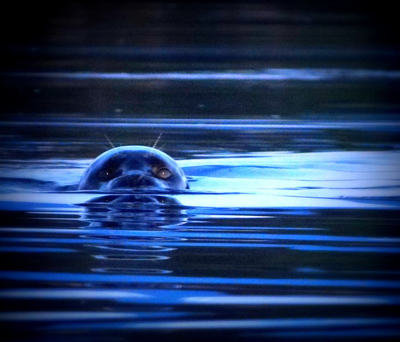 A seal checking out the evening paddler Royston, British Columbia Canada