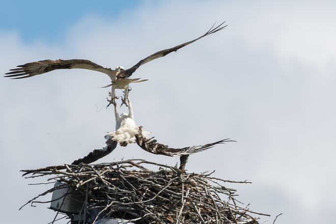 Osprey:The Other Woman Kingston, Ontario Canada