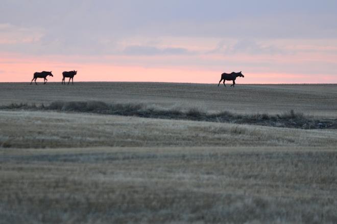 Moose friends Humboldt, Saskatchewan Canada