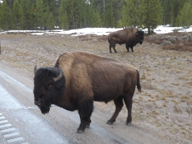 wild bisons West Yellowstone, Montana United States
