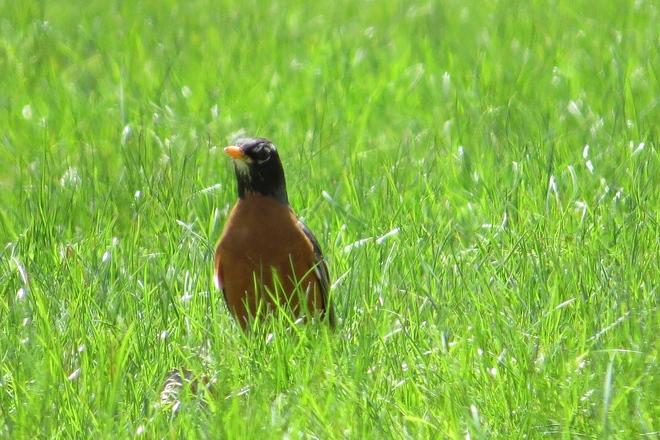 American Robin Mid Grasses Chester, Nova Scotia Canada