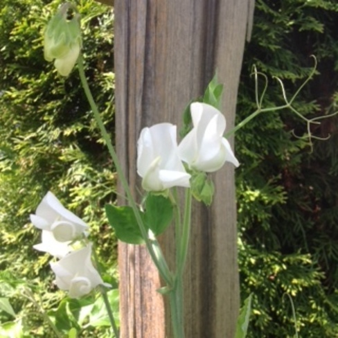 Sweetpea Royal Wedding for Mother's Day Surrey, British Columbia Canada