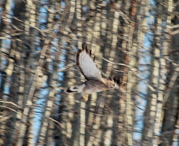Broad-winged hawk.Beautiful Calgary, Alberta Canada
