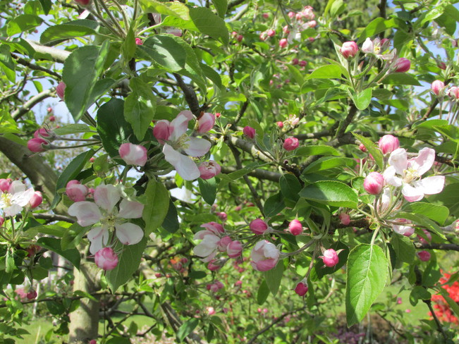 our small apple tree blossoms Surrey, British Columbia Canada