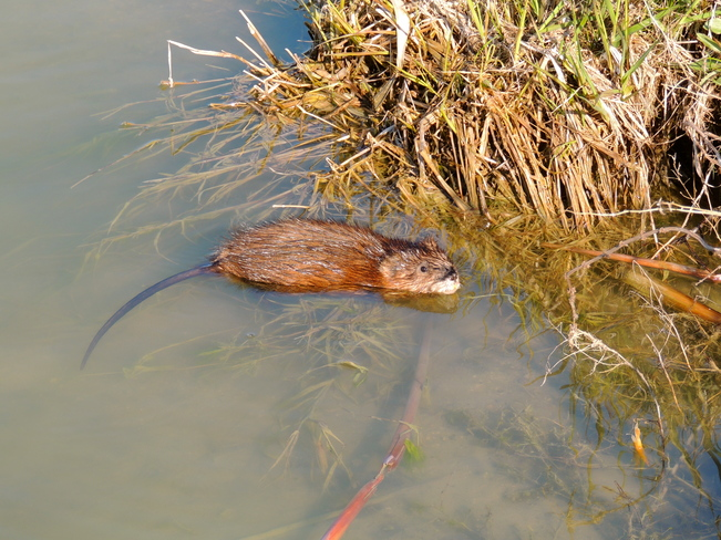 Nonquon Muskrat Rambles Up To Me. Port Perry, Ontario Canada