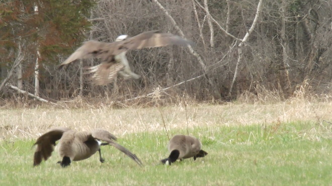 Osprey attack on a couple of Canada Geese Morrisburg, Ontario Canada