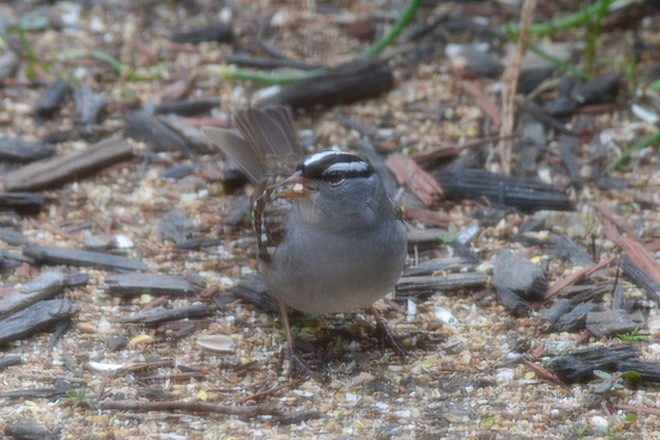 White-Crowned Sparrow! St. Catharines, Ontario Canada