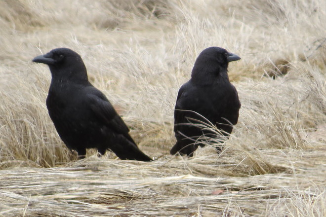 Two American Crows Looking Out Chester, Nova Scotia Canada
