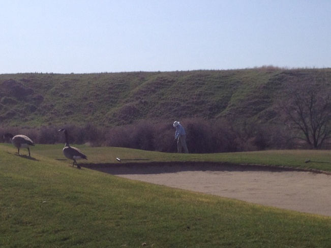 Geese and golfers sharing cours Desert Blume, Alberta Canada