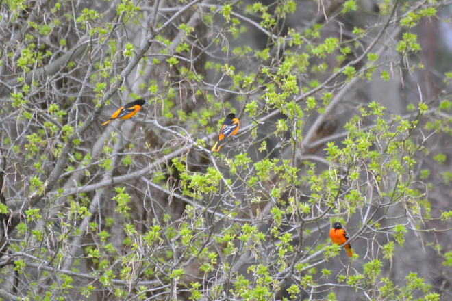 Orioles return Whitchurch-Stouffville, Ontario Canada