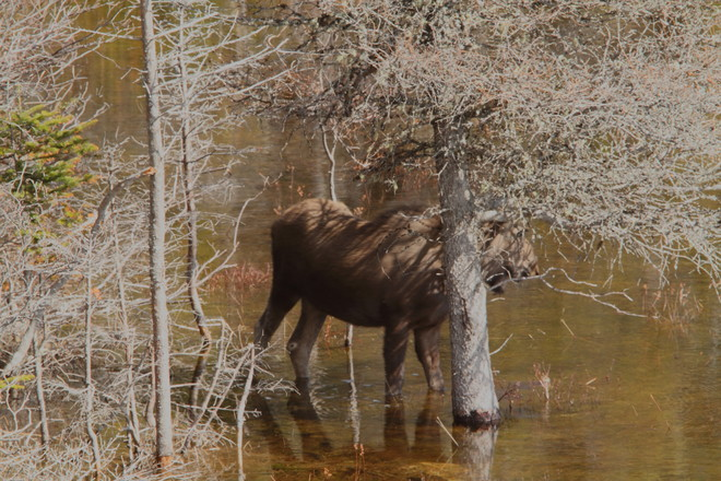Moose at edge of pond. Heart's Desire, Newfoundland and Labrador Canada