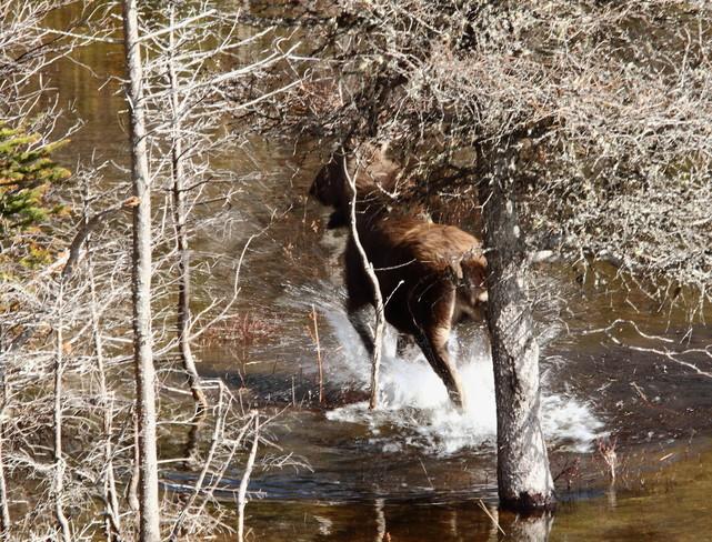 Spooked moose Heart's Desire, Newfoundland and Labrador Canada