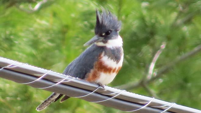 Female Belted Kingfisher Espanola, Ontario Canada