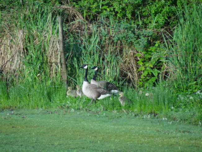 FIRST OF THE BABY CANADIAN GEESE Victorville, California United States