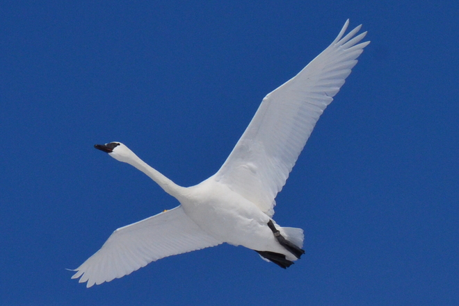 TRUMPETER SWAN IN FLIGHT Burlington, Ontario Canada