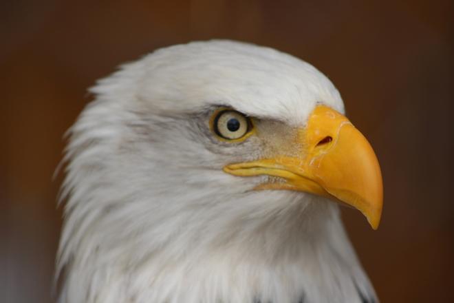 Bald Eagle Campbellville, Ontario Canada