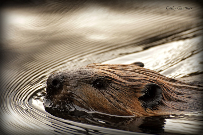 An industrious beaver. Magnetawan, Ontario Canada