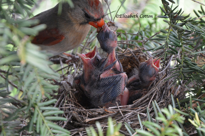 Cardinal Nest Kingston, Ontario Canada
