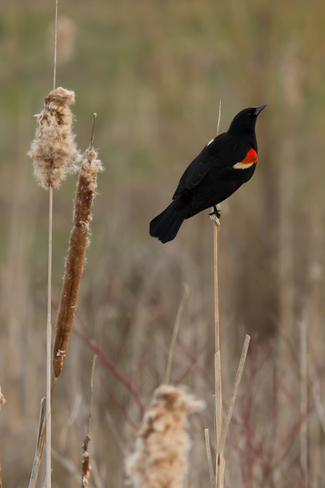 Red Winged Black Bird by the Water Peterborough, Ontario Canada