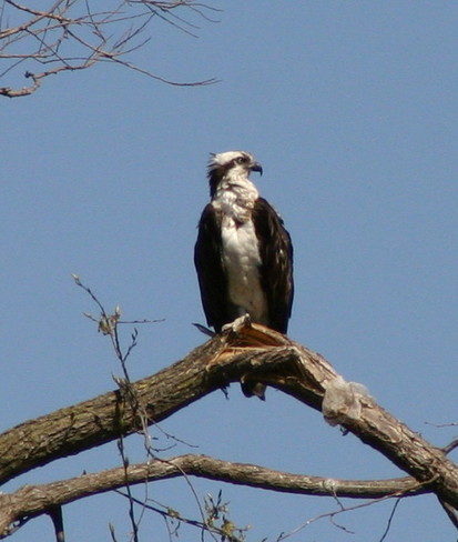 Relaxing Osprey on Mothers Day Cambridge, Ontario Canada