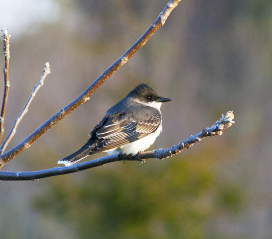 Eastern Kingbird Leamington, Ontario Canada