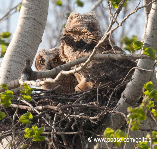 Great Horned Owlets Ottawa, Ontario Canada