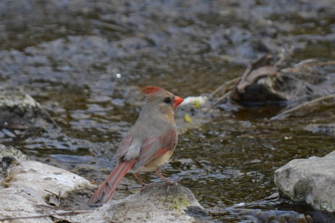 Female Cardinal! St. Catharines, Ontario Canada