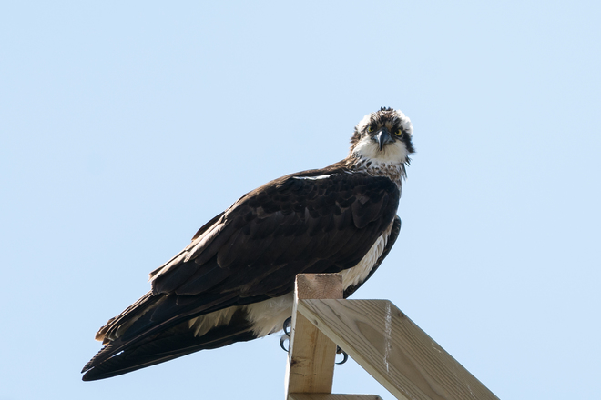 Female Osprey sitting pretty. Kingston, Ontario Canada