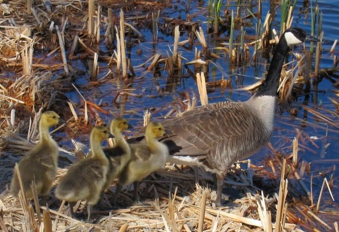 Canadian Geese family Medicine Hat, Alberta Canada