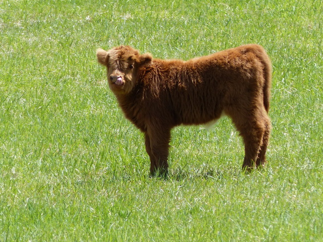 Baby highlander cow Grand Forks, British Columbia Canada