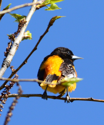 My first oriole Laval, Quebec Canada