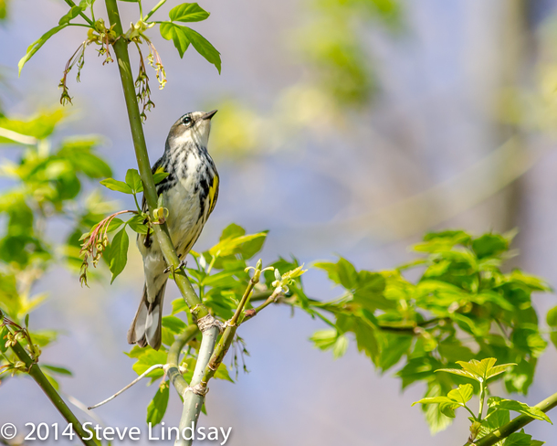 Yellow-rumped Warbler w foliage