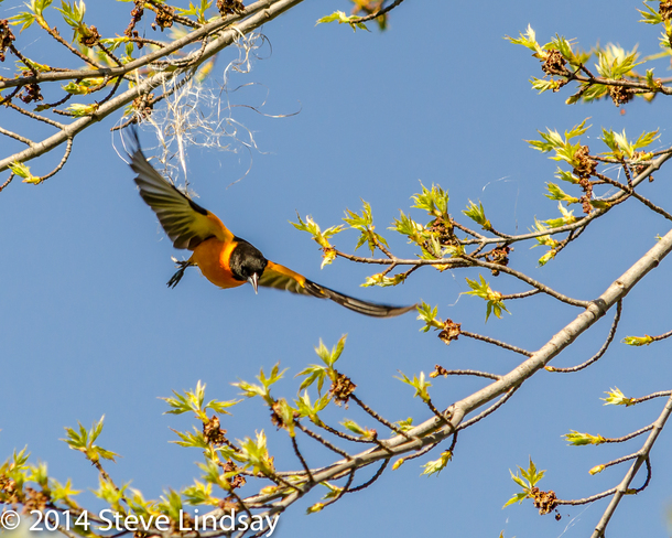 Baltimore Oriole takes off froma perch