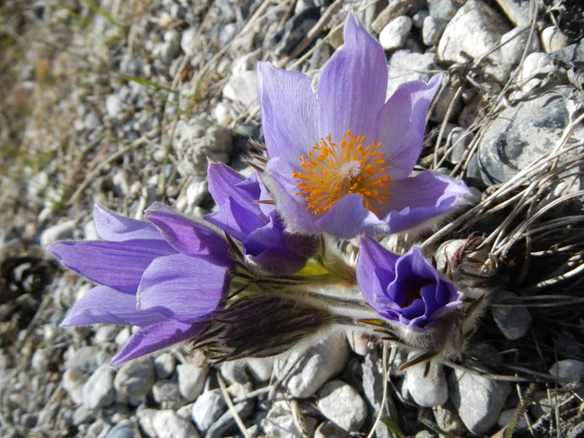 crocus in bloom Banff, Alberta Canada