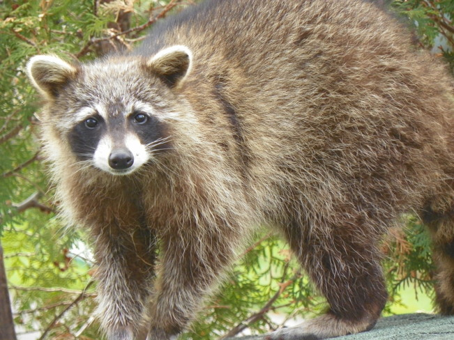 Racoon Salaberry-de-Valleyfield, Quebec Canada
