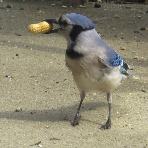 bluejay and his peanut Jersey City, New Jersey United States