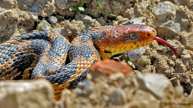 Fox Snake Tilbury, Ontario Canada