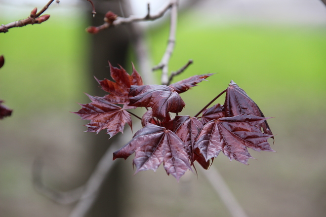 Maple leaves. Toronto, Ontario Canada
