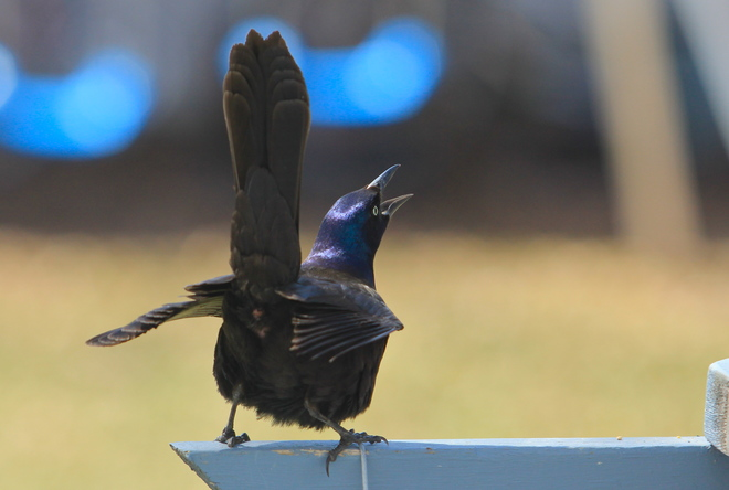 Male Cowbird Dalmeny, Saskatchewan Canada