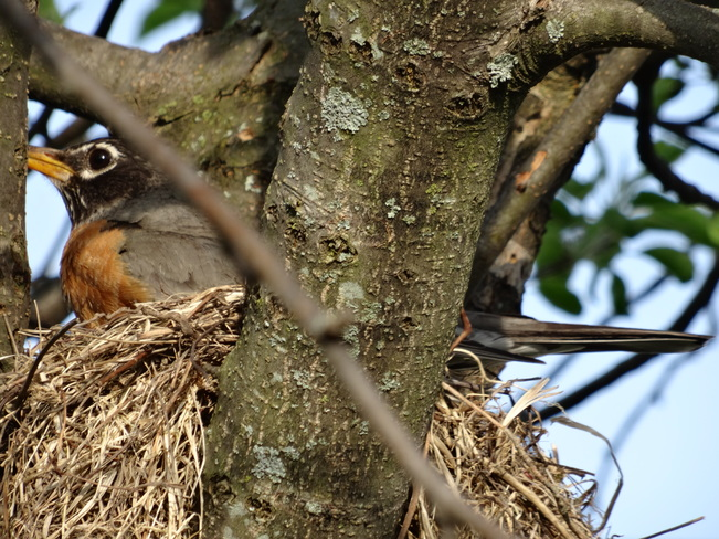 Robin Nesting Kingston, Ontario Canada