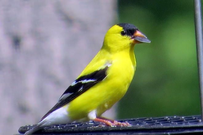 goldfinch with sunflower seed Jersey City, New Jersey United States