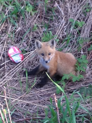 The Fox and the pop can Kingston, Ontario Canada