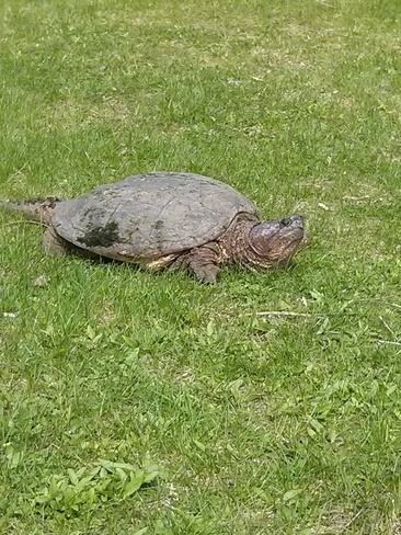Huge Snapping Turtle Merrickville-Wolford, Ontario Canada