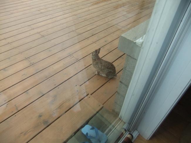 rabbit Brooklin, Ontario Canada