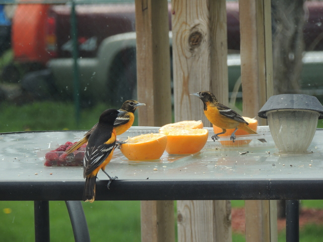 Another day of the Oriole Nanticoke, Ontario Canada