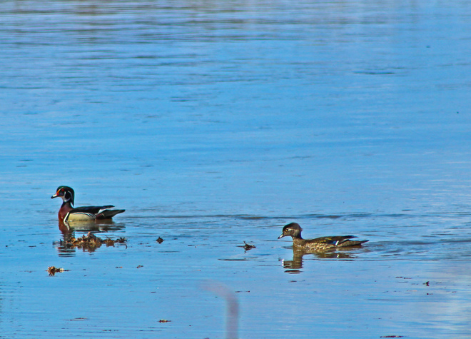 Pair of wood ducks on the Red River